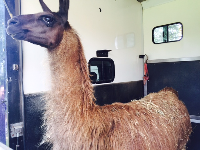 We transport creatures great and small, even llamas!